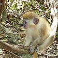 Barbados Green Monkey by Diane Palmer