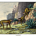 Barbary Ape by Splendid Art Prints