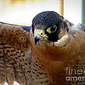 Barbary Falcon Wings Stretched by Lainie Wrightson