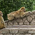 Barbary Macaques by Arterra Picture Library