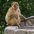 Barbary Macaque by Arterra Picture Library
