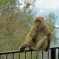 Barbary Macaque  by Tony Murtagh