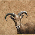Barbary Ram by James W Johnson