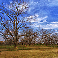 Bare Pecan Trees by Kim Hojnacki
