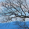 Bare Tree Against Blue Sky by Anita Adams
