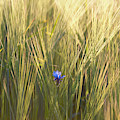 Barley And Corn Flowers In The Field by Panoramic Images