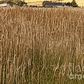 Barley Field by Diane Macdonald