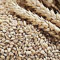 Barley Grains And Stalks by Charlotte Lake