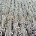 Barley by James Michael Olson