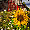 Barn Meadow Flowers by Debra and Dave Vanderlaan