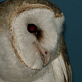 Barn Owl 2 by Ernie Echols