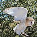 Barn Owl 2 by Kume Bryant