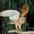 Barn Owl Alights by Anthony Mercieca
