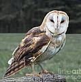 Barn Owl by Barbara McMahon