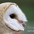 Barn Owl Closeup Portrait by Brandon Alms