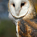 Barn Owl by Dave Mills