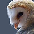 Barn Owl Dry Brushed by Ernie Echols