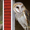 Barn Owl by Jill Lang