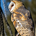 Barn Owl by Kathleen Bishop