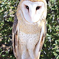 Barn Owl by Kume Bryant