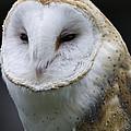Barn Owl No.1 by John Greco