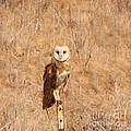 Barn Owl Perching by Bob and Jan Shriner