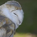 Barn Owl by Jenny Potter