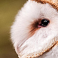 Barn Owl Profile by Don Johnson