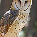 Barn Owl Raptor  by Kevin McCarthy