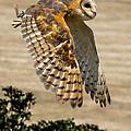 Barn Owl by Robert L Jackson