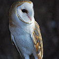 Barn Owl by Sharon Elliott