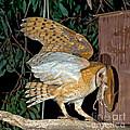 Barn Owl With Prey by Anthony Mercieca