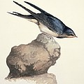 Barn Swallow, 19th Century by Science Photo Library