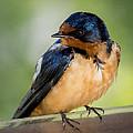 Barn Swallow by Ernie Echols
