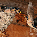Barn Swallow Nest by Scott Linstead