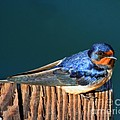 Barn Swallow Perching by Bob and Jan Shriner