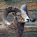Barn Wood Bighorn by Steve McKinzie