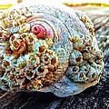 Barnacle Shell by Eddie G