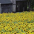 Barns And Sunflowers by Michelle Welles