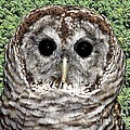 Barred Owl 1 by Rose Santuci-Sofranko