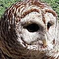 Barred Owl 2 by Rose Santuci-Sofranko
