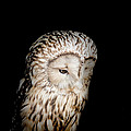 Barred Owl by Bill Wakeley