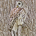Barred Owl Camouflage by Jennie Marie Schell