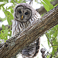 Barred Owl by Chris Dutton