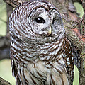 Barred Owl by Dale Kincaid