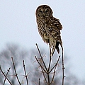 Barred Owl by Bonfire Photography