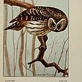 Barred Owl by Ernest Seton Thompson