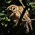 Barred Owl  Hello by William Fox