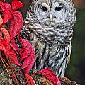 Barred Owl II by Todd Bielby