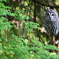 Barred Owl In Forest by Max Waugh